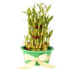 3 layers Lucky Bamboo in Green Fiber Woven Basket