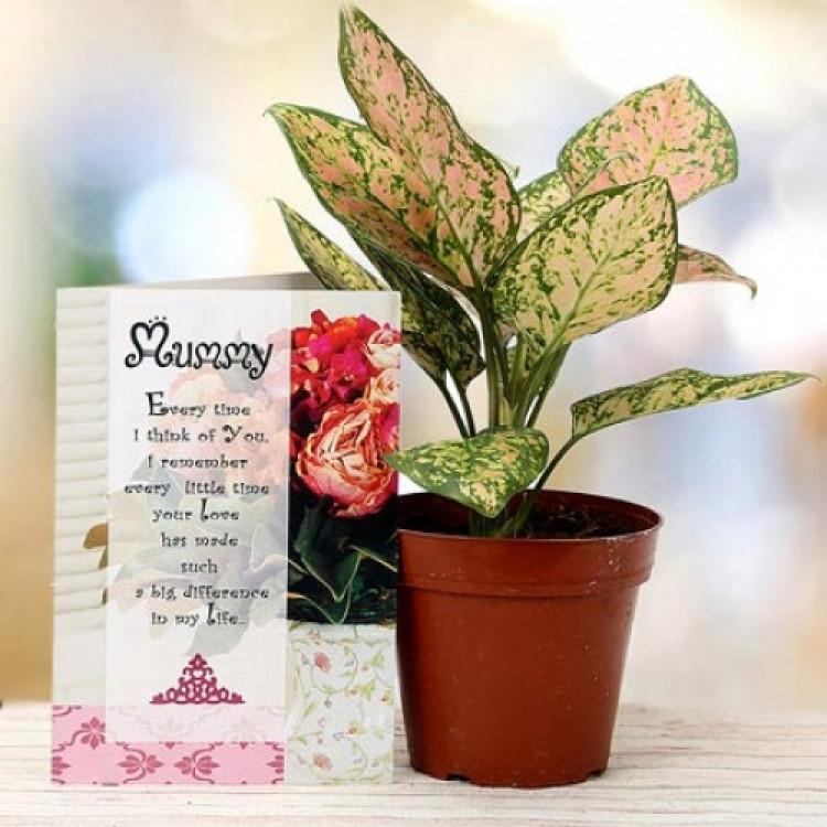 Aglaonema plant for Mom