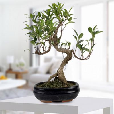 Gorgeous Ficus S Shaped Plant